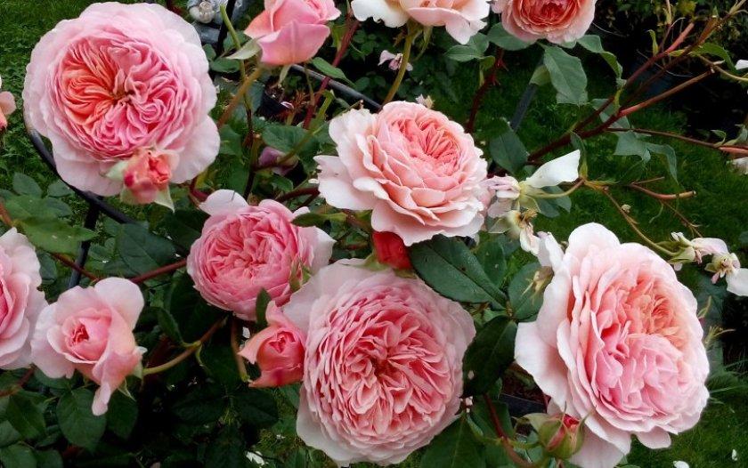 Роза сорта William Morris