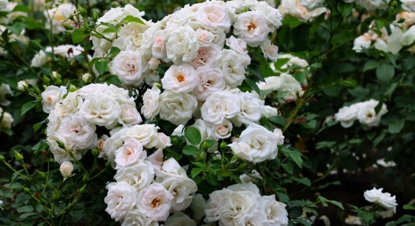 Роза сорта Snow goose
