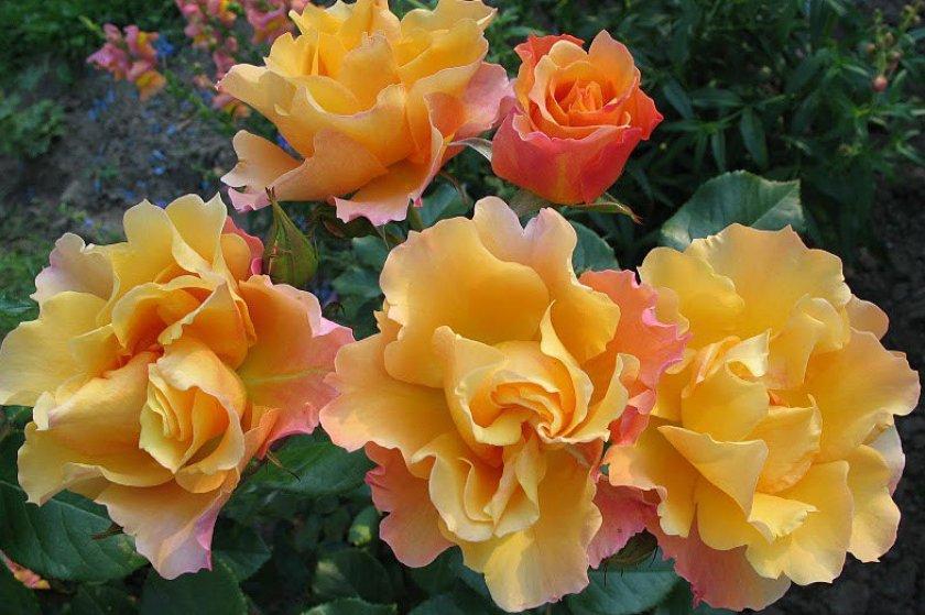 Роза сорта Tequila
