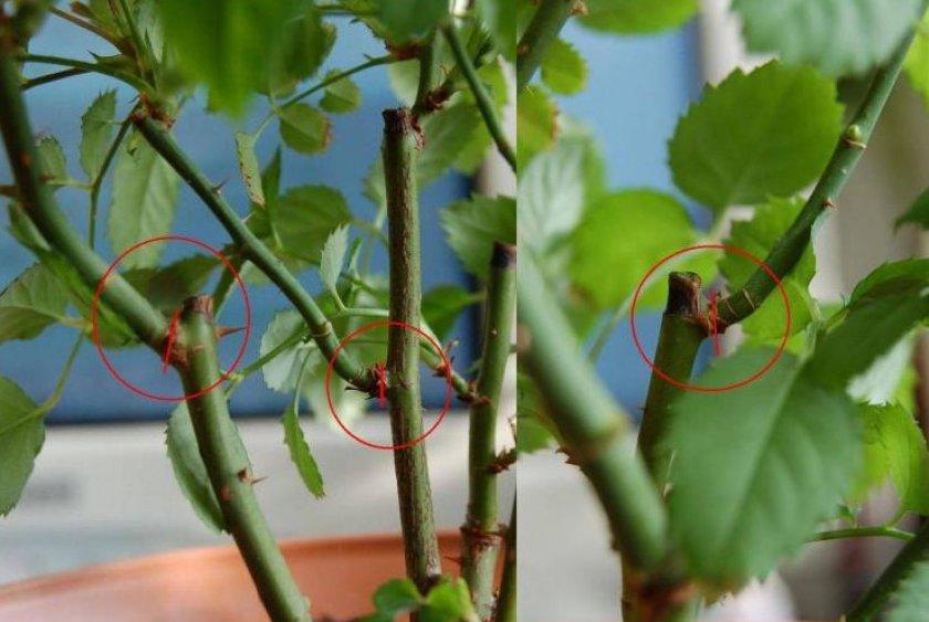 Размножение роз черенкованием