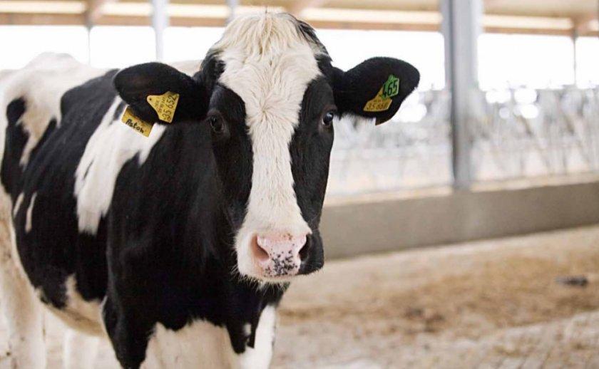 Корова голландской породы