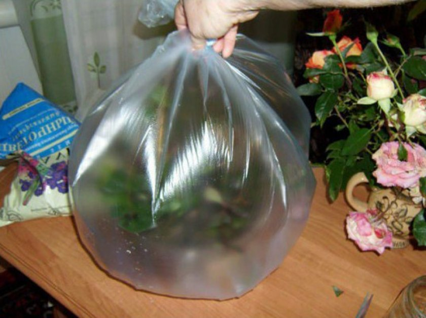 Укоренение роз в пакете