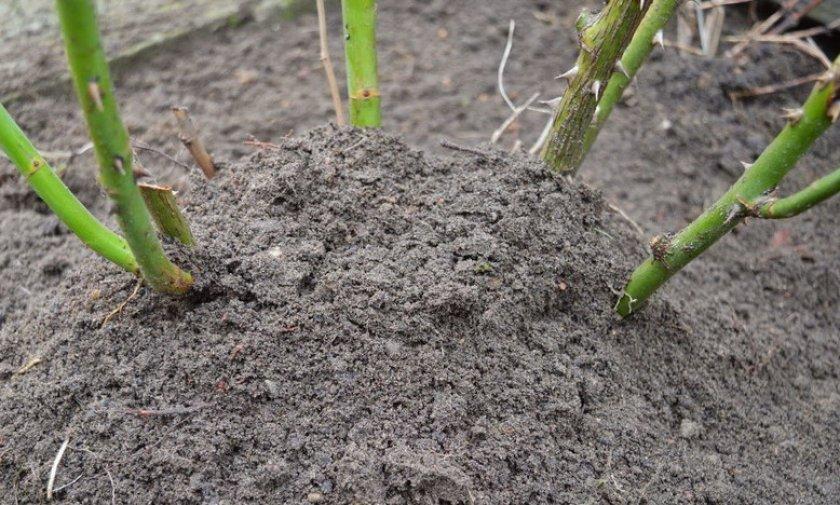 Высадка черенков в грунт