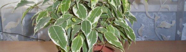 Фикус крупнолистный 41 фото как укоренить фикус с большими листьями Почему он так называется Как его размножить Уход в домашних условиях
