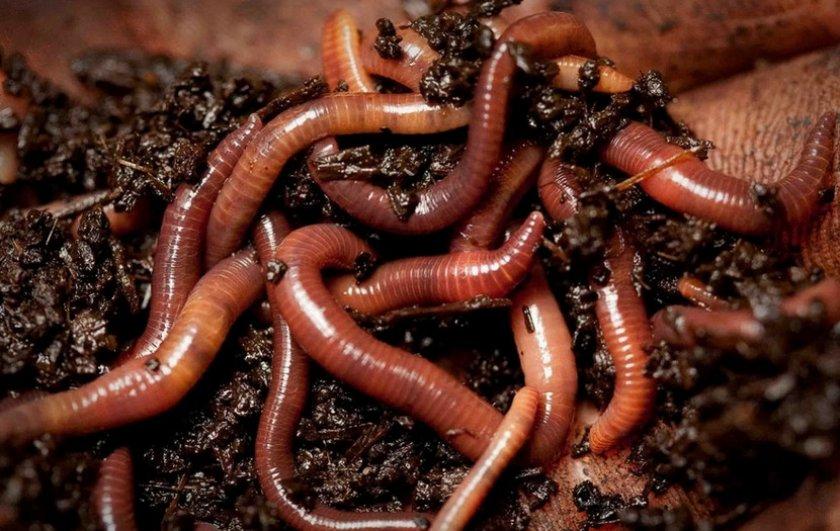 Навозные черви