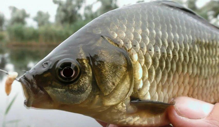 Как правильно насадить опарыша на крючок для ловли разных видов рыб