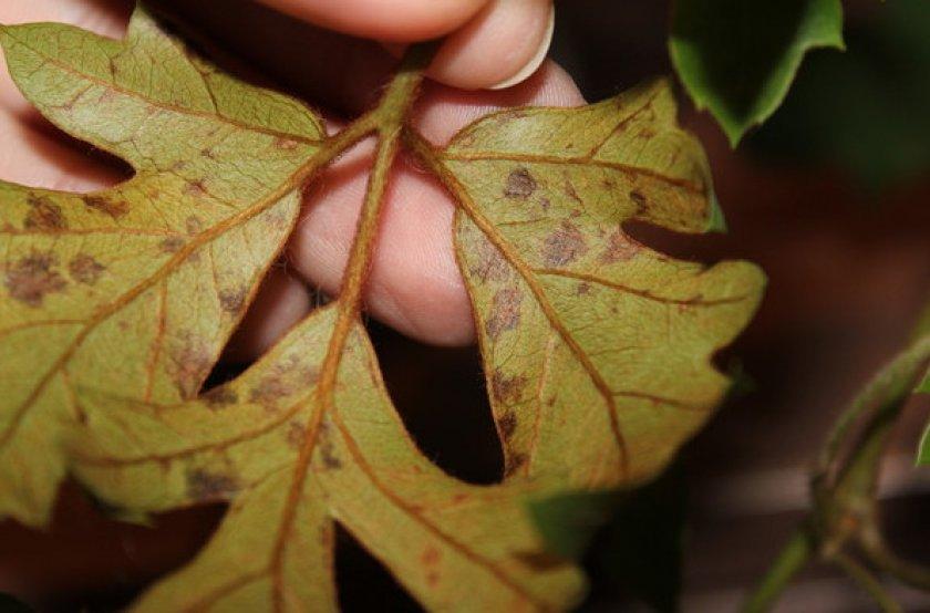 Сохнут листья у роициссуса