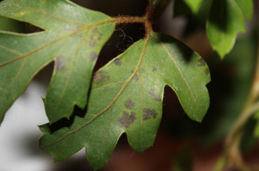 Листья покрываются темными пятнами