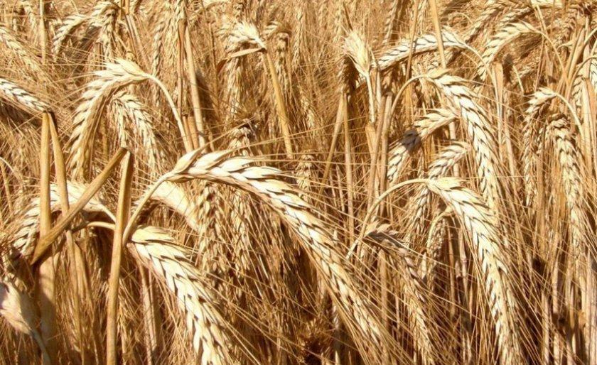 подарки, рожь и пшеница фото различия выбору ухажера