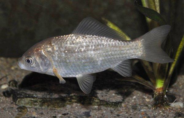 Виды карасей: их названия и описание с фото, как называется рыба с красными плавниками, как выглядит краснопёрый, чем отличается речной от озёрного