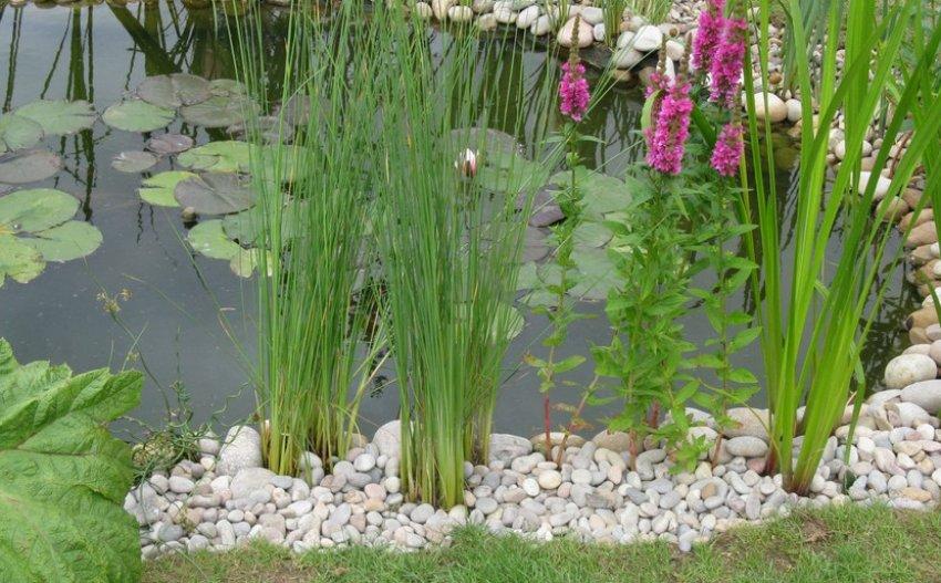 Декоративная осока в домашнем пруду