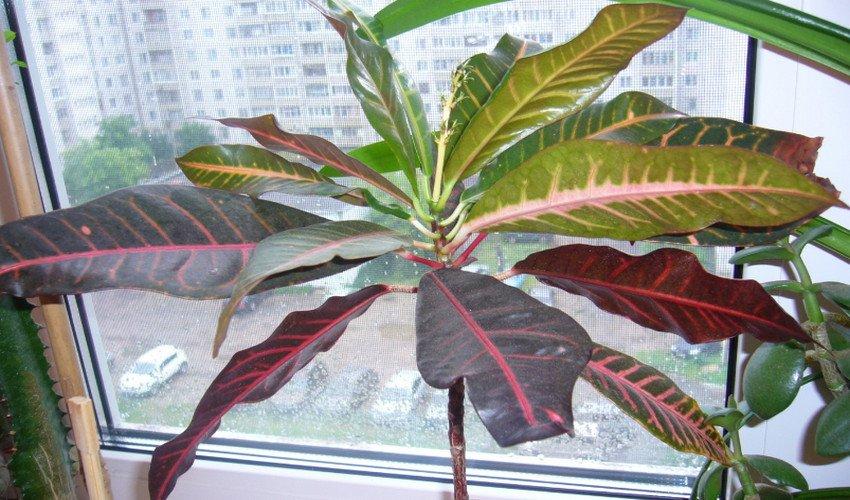 У кротона опадают листья