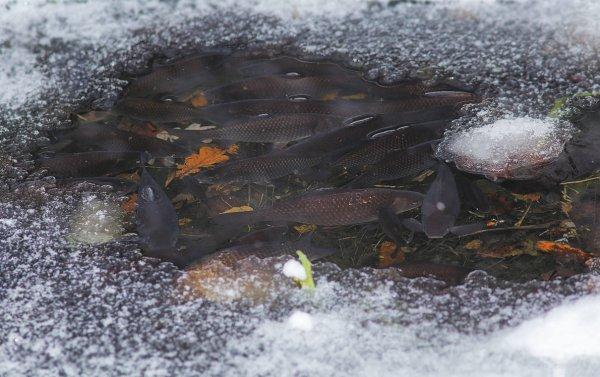 Как зимует карп в пруду
