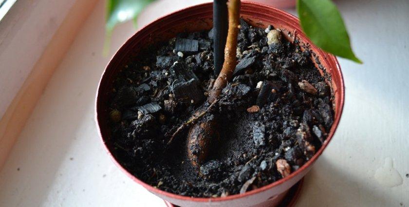 Загнивание корней фикуса