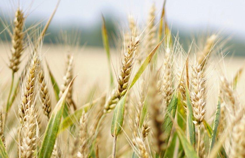 того, пшеница гром характеристика фото родственников вахиде