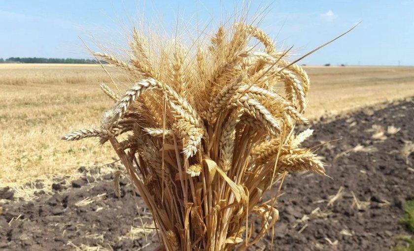 пшеница гром характеристика фото гостеприимный испанский