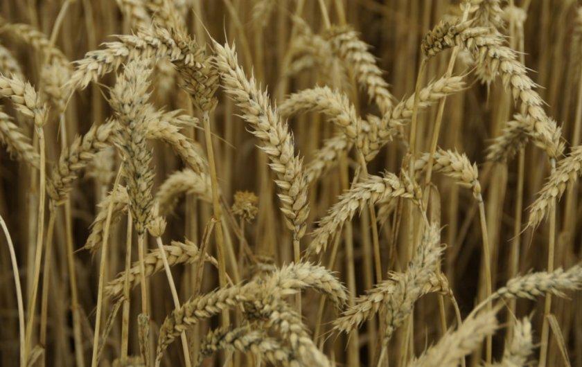 очень пшеница гром характеристика фото более