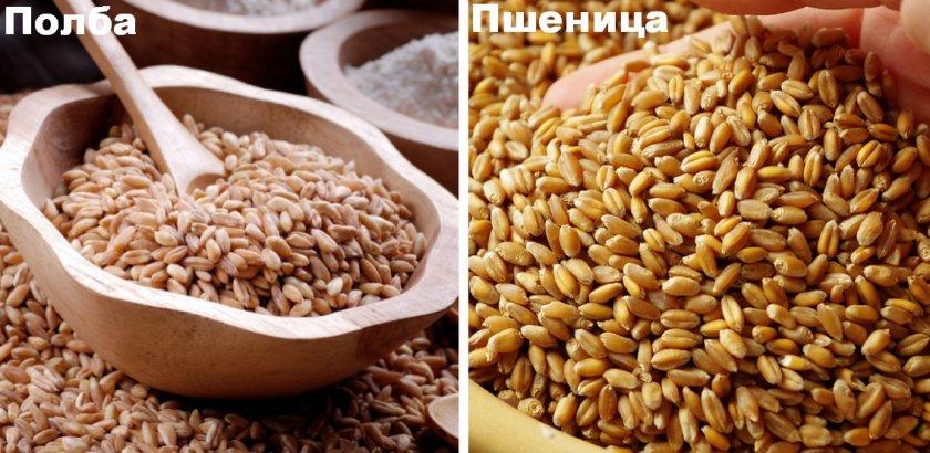 Полба и пшеница