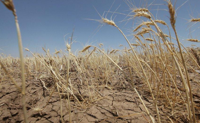 Засуха на пшеничном поле