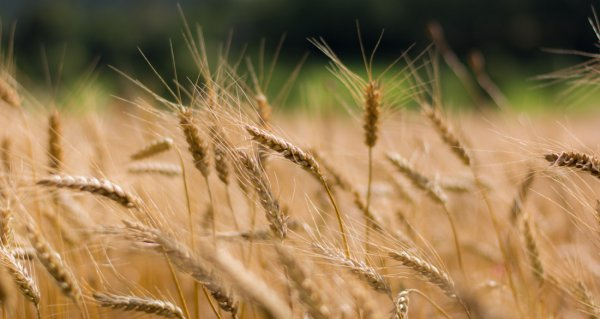 Чем брызгать пшеницу по колосе