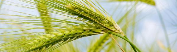 Зерновые культуры — список растений с названиями