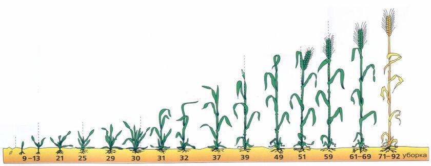 Фазы роста яровой пшеницы