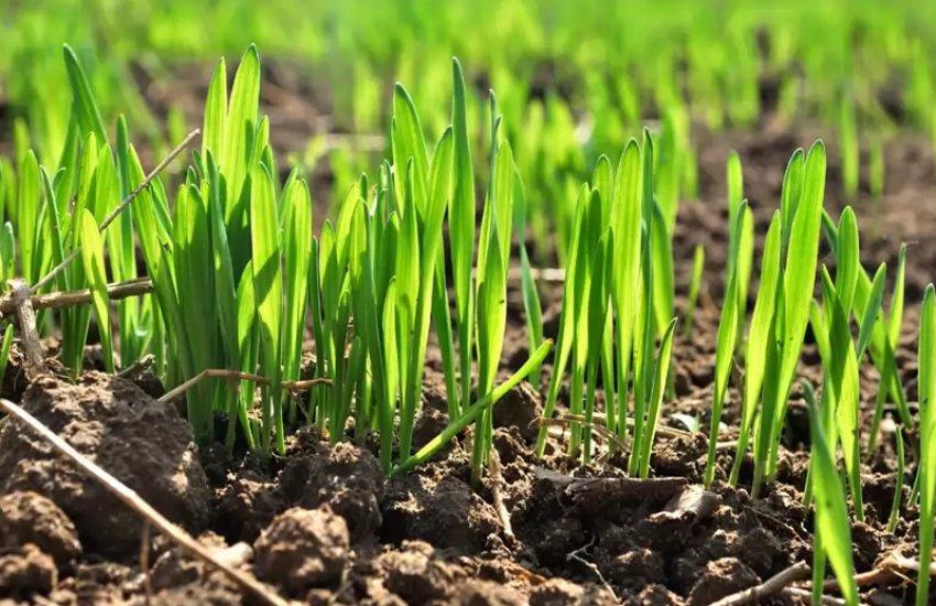 озимая пшеница фото весной всходы пожелтели советы