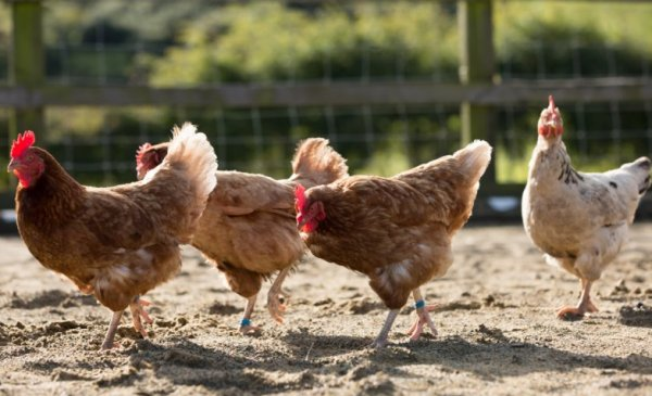 Черви под кожей у курицы