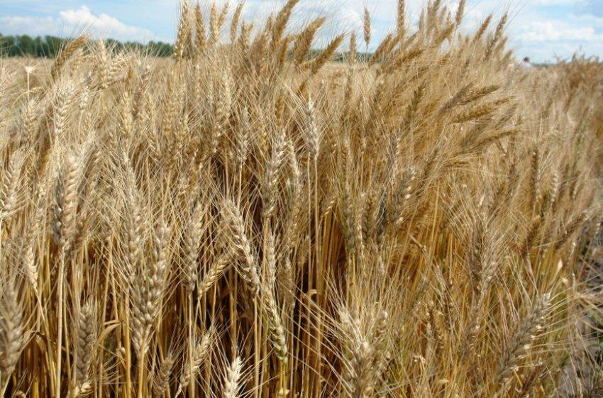 Озимая пшеница Алексеевич