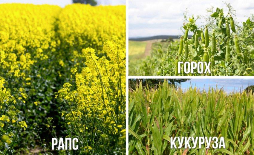 Рекомендуемые предшественники для пшеницы