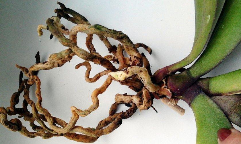 Гниение корней орхидеи