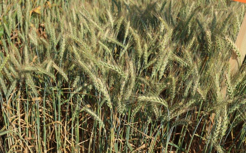Озимая пшеница сорта Степь