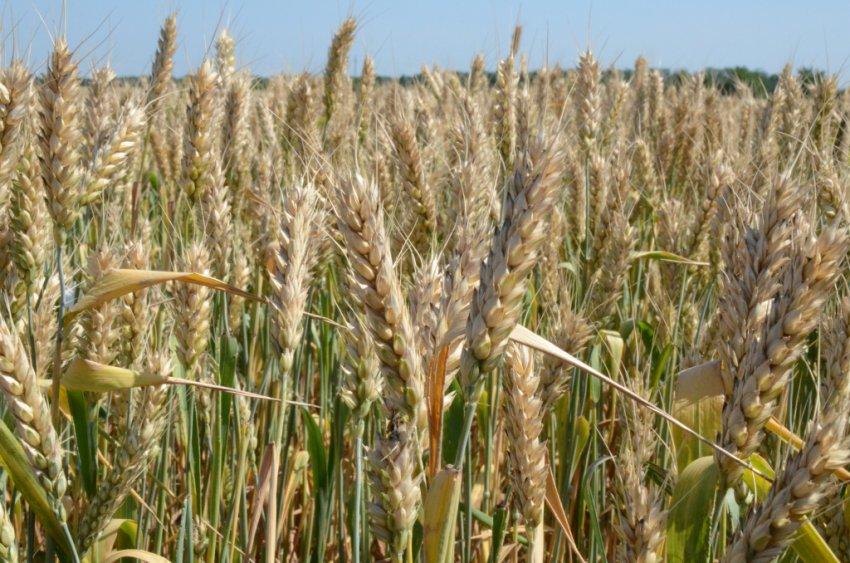 Пшеница сорта Степь