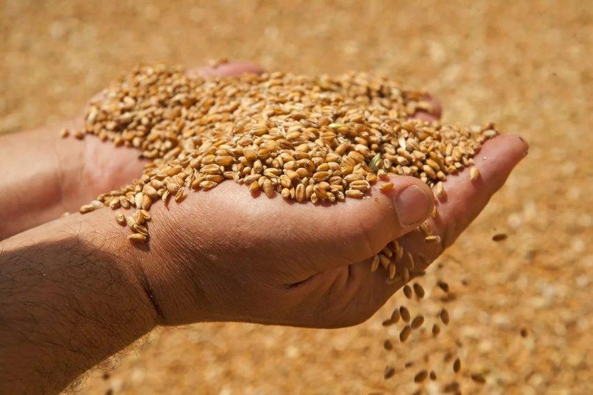 Зерно озимой пшеницы
