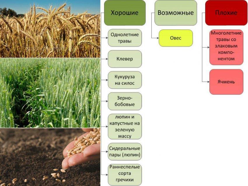 Севооборот пшеницы