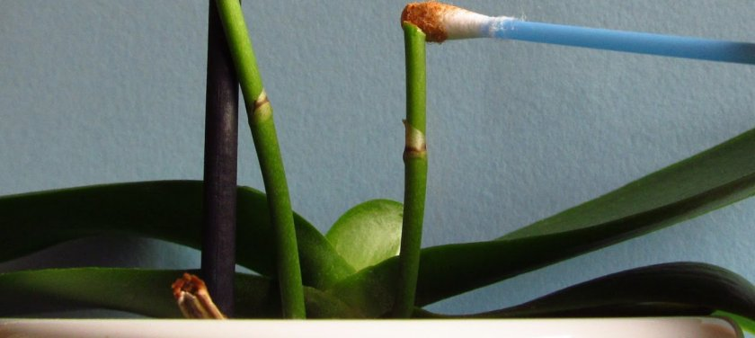 Реанимация орхидеи без цветоноса