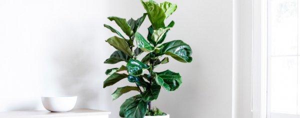 Фикус лировидный - растение для больших помещений уход видео