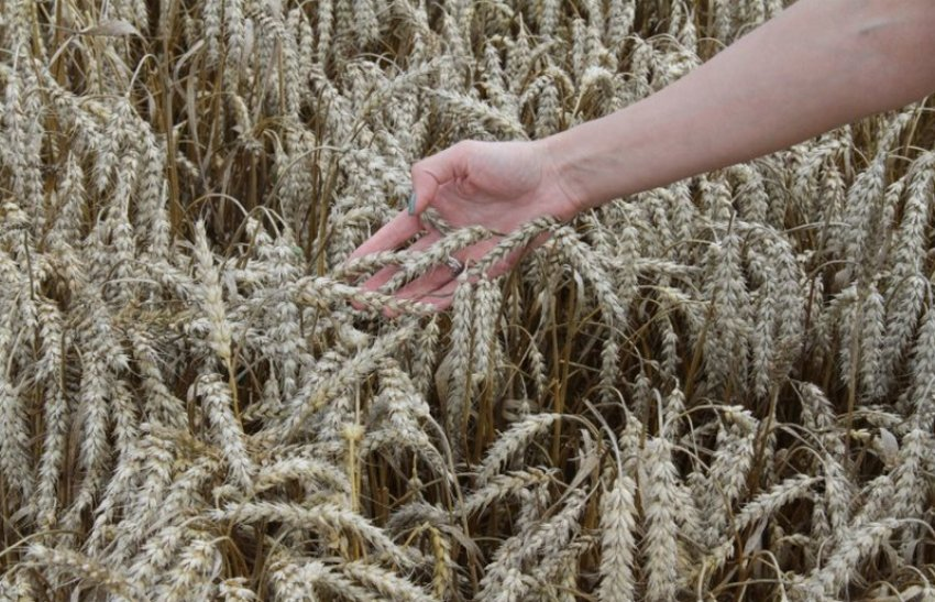 Сорт пшеницы Баграт