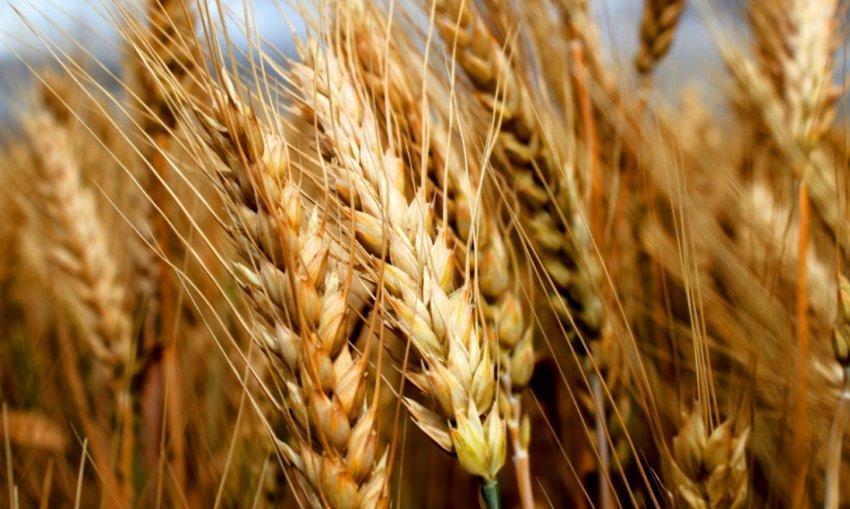 Пшеница Безостая 100