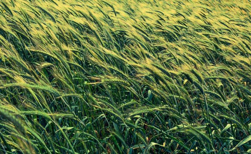 Ячмень на поле