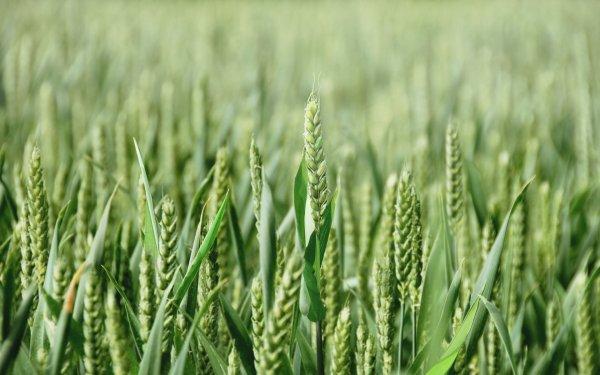 Посев озимой и яровой пшеницы: норма высева, сроки, способы