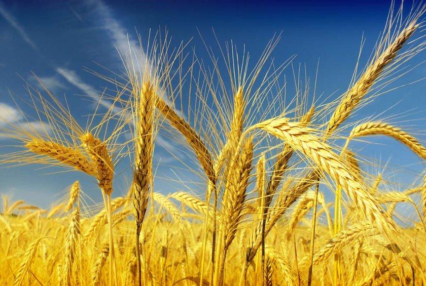 Пшеница яровая спелая