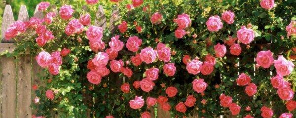 Розовая роза 40 фото описание сорта Эдем и других особенности растений с нежно-розовыми розово-зелеными и бледно-розовыми цветками