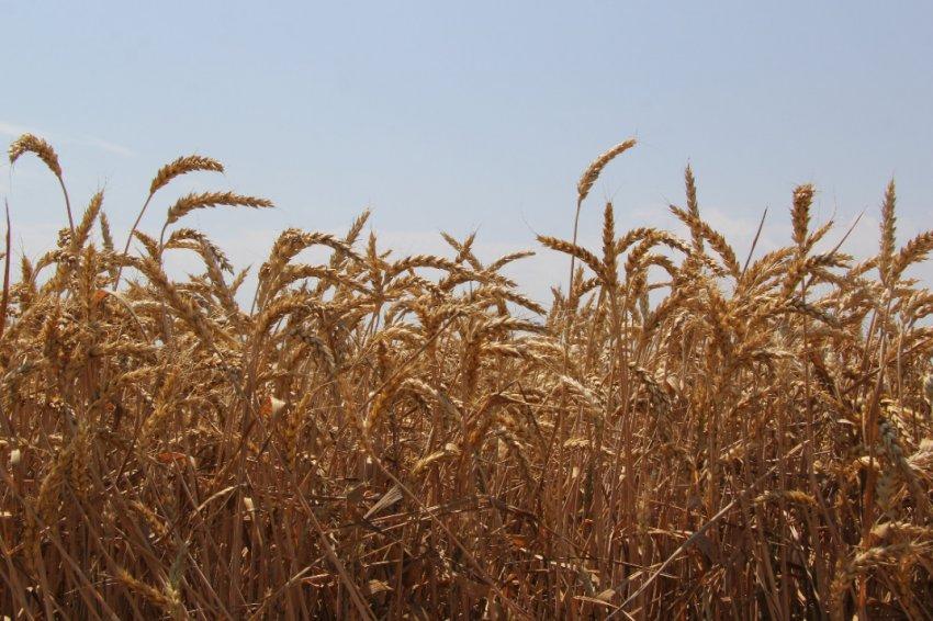 Сорт пшеницы Таня