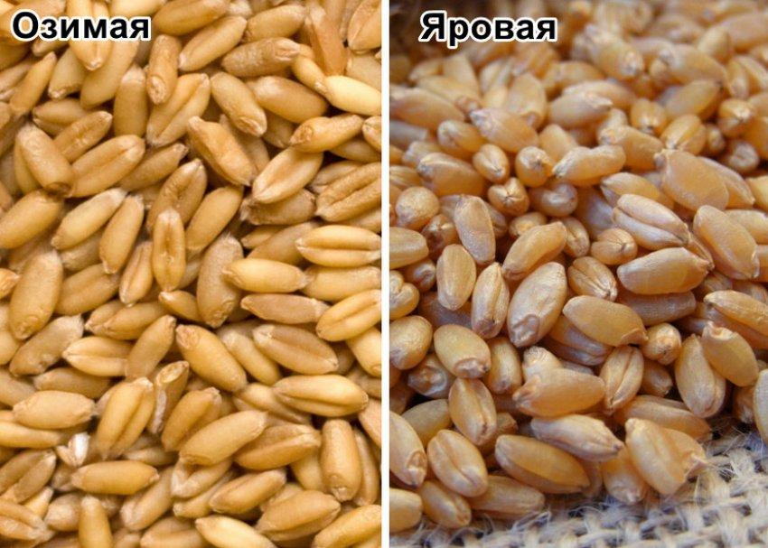 Зёрна озимой и яровой пшеницы