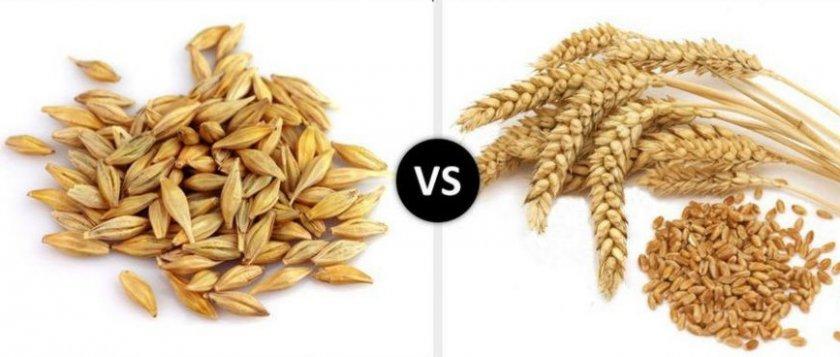 Ячмень и пшеница