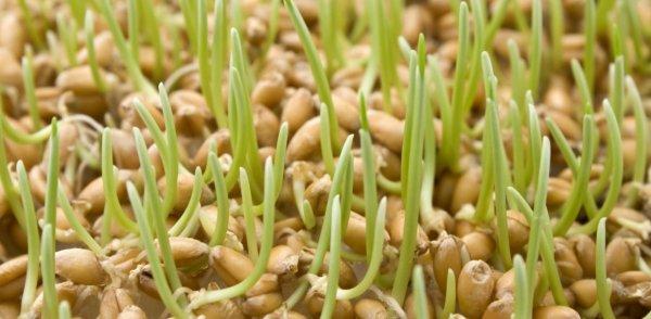 Как прорастить пшеницу для еды в домашних условиях