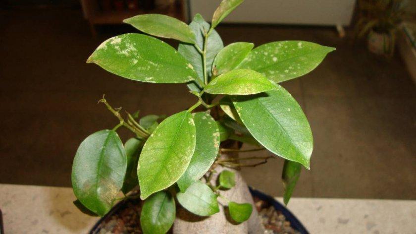 Серые пятна на листьях фикуса микрокарпа