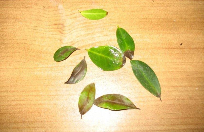 Опавшие листья фикуса микрокарпа