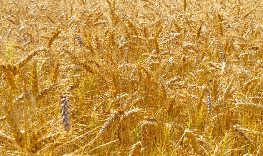 Зрелая пшеница